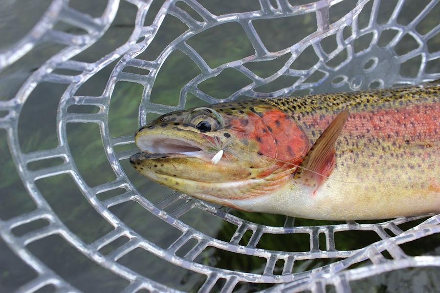 Wild Rainbow Trout